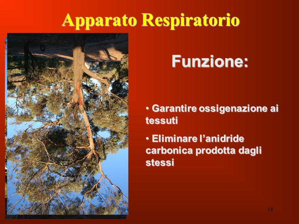 18 Apparato Respiratorio Funzione: Garantire ossigenazione ai tessuti Garantire ossigenazione ai tessuti Eliminare lanidride carbonica prodotta dagli
