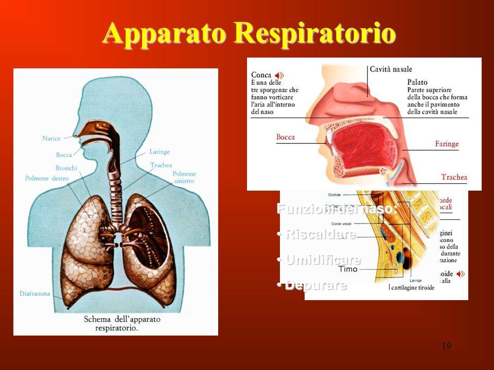 19 Apparato Respiratorio Funzioni del naso: Riscaldare Riscaldare Umidificare Umidificare Depurare Depurare