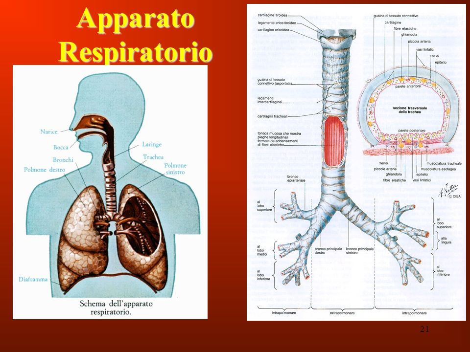 21 Apparato Respiratorio
