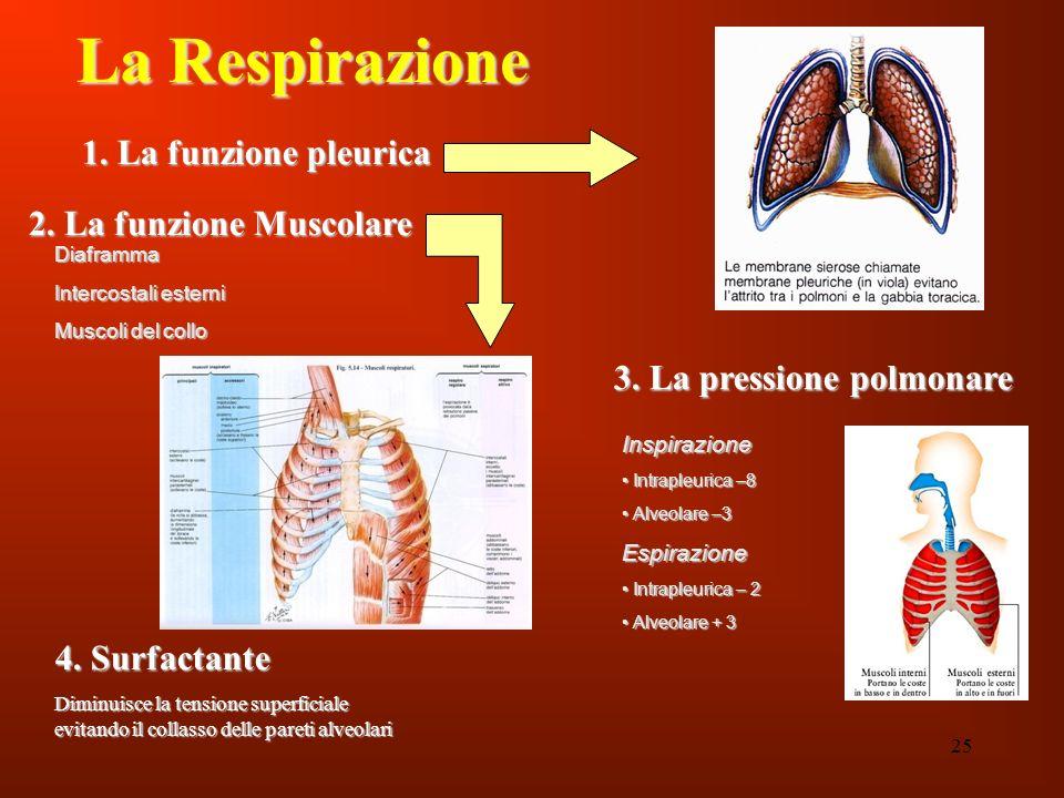 25 La Respirazione 1. La funzione pleurica 2. La funzione Muscolare 3. La pressione polmonare Diaframma Intercostali esterni Muscoli del collo Inspira