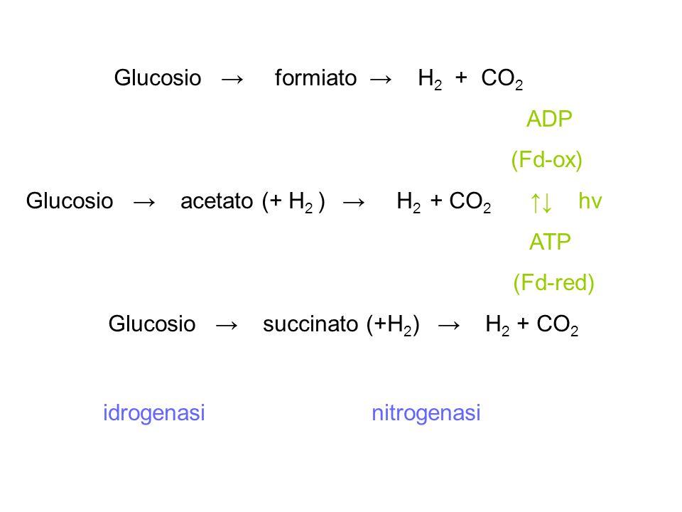 Glucosio formiato H 2 + CO 2 ADP (Fd-ox) Glucosio acetato (+ H 2 ) H 2 + CO 2 hν ATP (Fd-red) Glucosio succinato (+H 2 ) H 2 + CO 2 idrogenasi nitroge