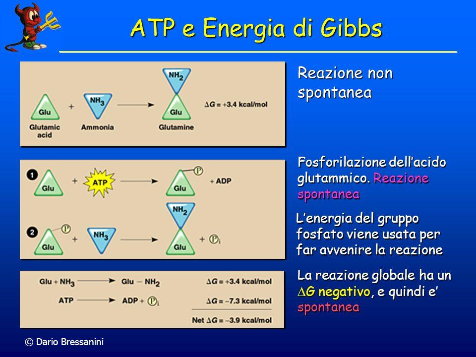 © Dario Bressanini ATP e Energia di Gibbs Fosforilazione dellacido glutammico. Reazione spontanea Reazione non spontanea Lenergia del gruppo fosfato v