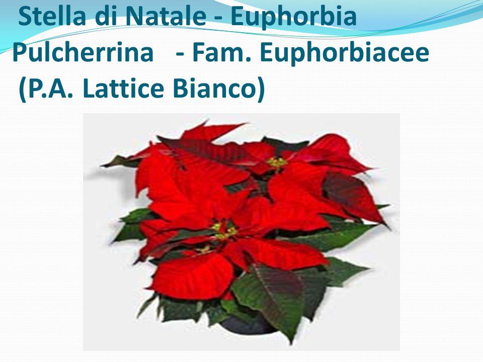 Stella di Natale - Euphorbia Pulcherrina - Fam. Euphorbiacee (P.A. Lattice Bianco)