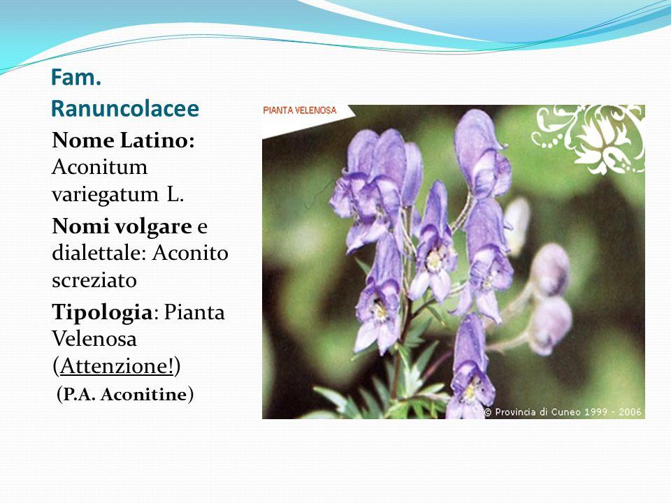 Fam. Ranuncolacee Nome Latino: Aconitum variegatum L. Nomi volgare e dialettale: Aconito screziato Tipologia: Pianta Velenosa (Attenzione!) (P.A. Acon