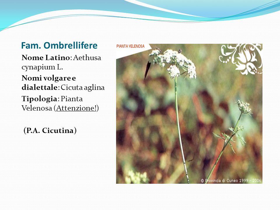 Fam. Ombrellifere Nome Latino: Aethusa cynapium L. Nomi volgare e dialettale: Cicuta aglina Tipologia: Pianta Velenosa (Attenzione!) (P.A. Cicutina)