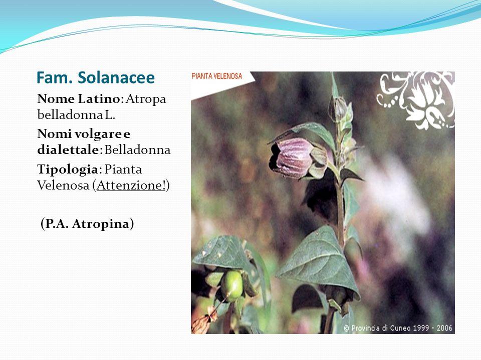 Fam. Solanacee Nome Latino: Atropa belladonna L. Nomi volgare e dialettale: Belladonna Tipologia: Pianta Velenosa (Attenzione!) (P.A. Atropina)