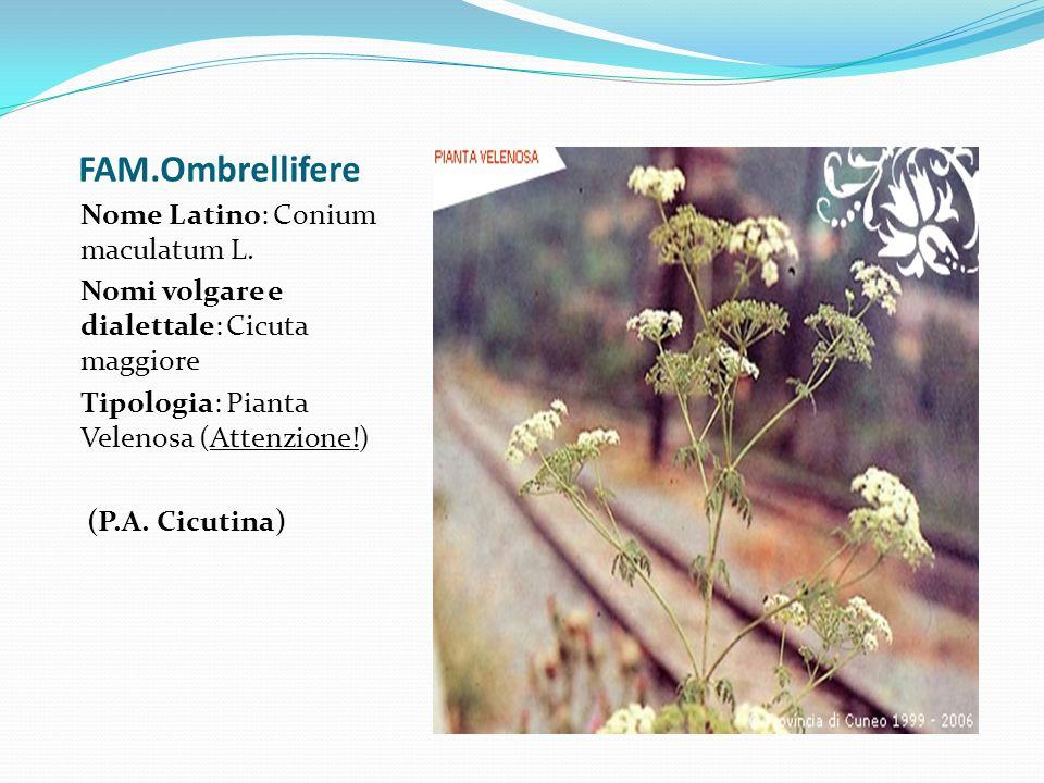 FAM.Ombrellifere Nome Latino: Conium maculatum L. Nomi volgare e dialettale: Cicuta maggiore Tipologia: Pianta Velenosa (Attenzione!) (P.A. Cicutina)