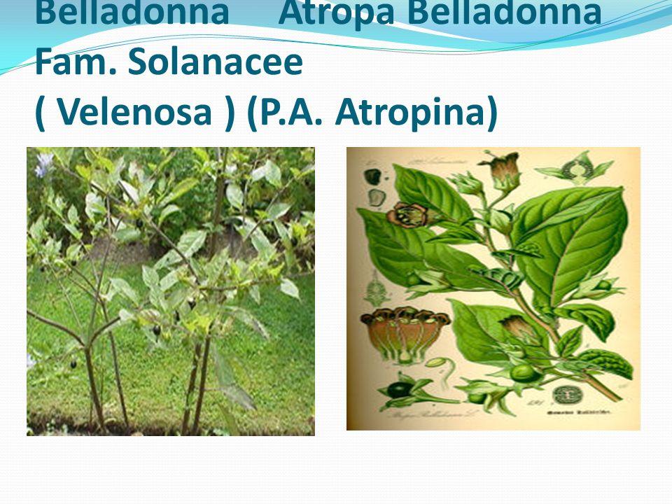 Belladonna (Atropa belladonna) - Famiglia Solanacee È forse la pianta più nota, dal punto di vista farmacologico, della numerosa famiglia delle Solanacee, per il suo contenuto di atropina.