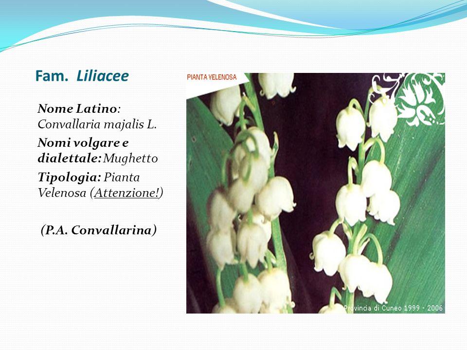 Fam. Liliacee Nome Latino: Convallaria majalis L. Nomi volgare e dialettale: Mughetto Tipologia: Pianta Velenosa (Attenzione!) (P.A. Convallarina)