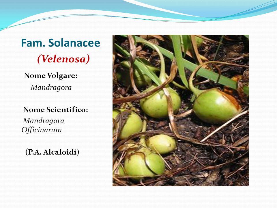 Fam. Solanacee (Velenosa) Nome Volgare: Mandragora Nome Scientifico: Mandragora Officinarum (P.A. Alcaloidi)