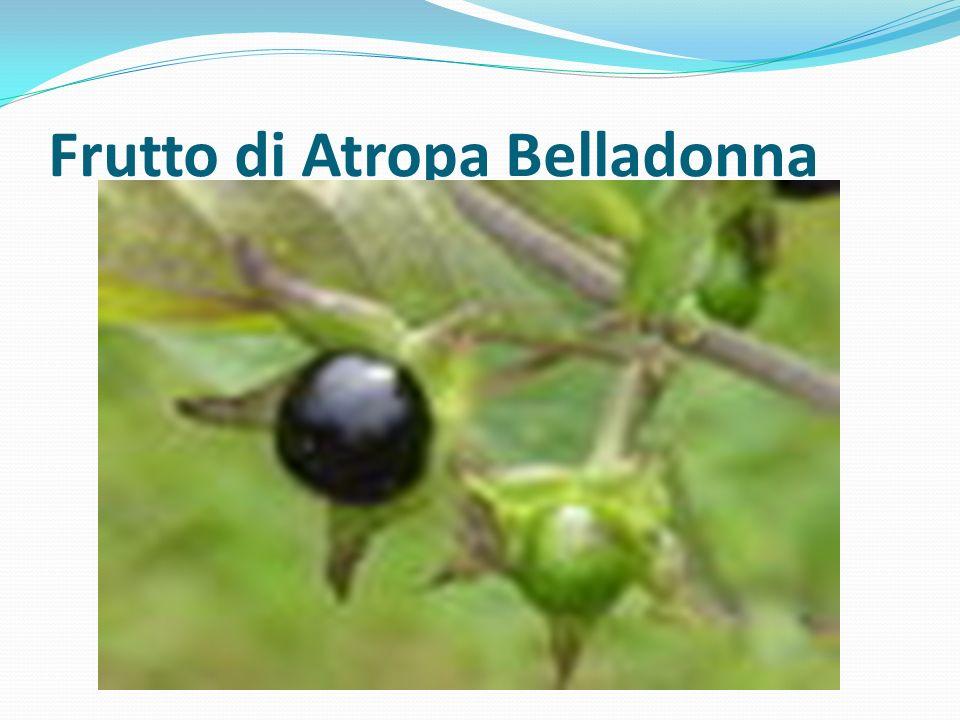 Frutto di Atropa Belladonna