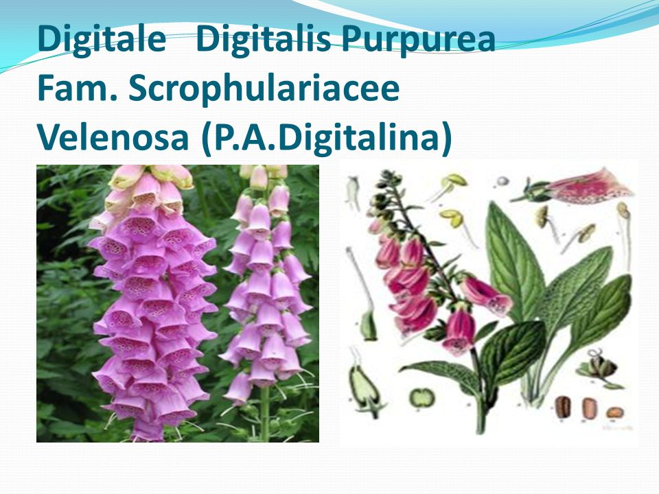 Digitale Digitalis Purpurea Fam. Scrophulariacee Velenosa (P.A.Digitalina)