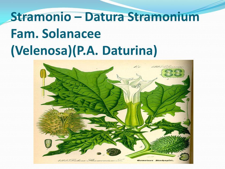 Datura (Datura arborea - Datura stramonium - Datura suaveolens) Famiglia Solanacee Come lAtropa belladonna appartiene alla famiglia delle Solanacee.