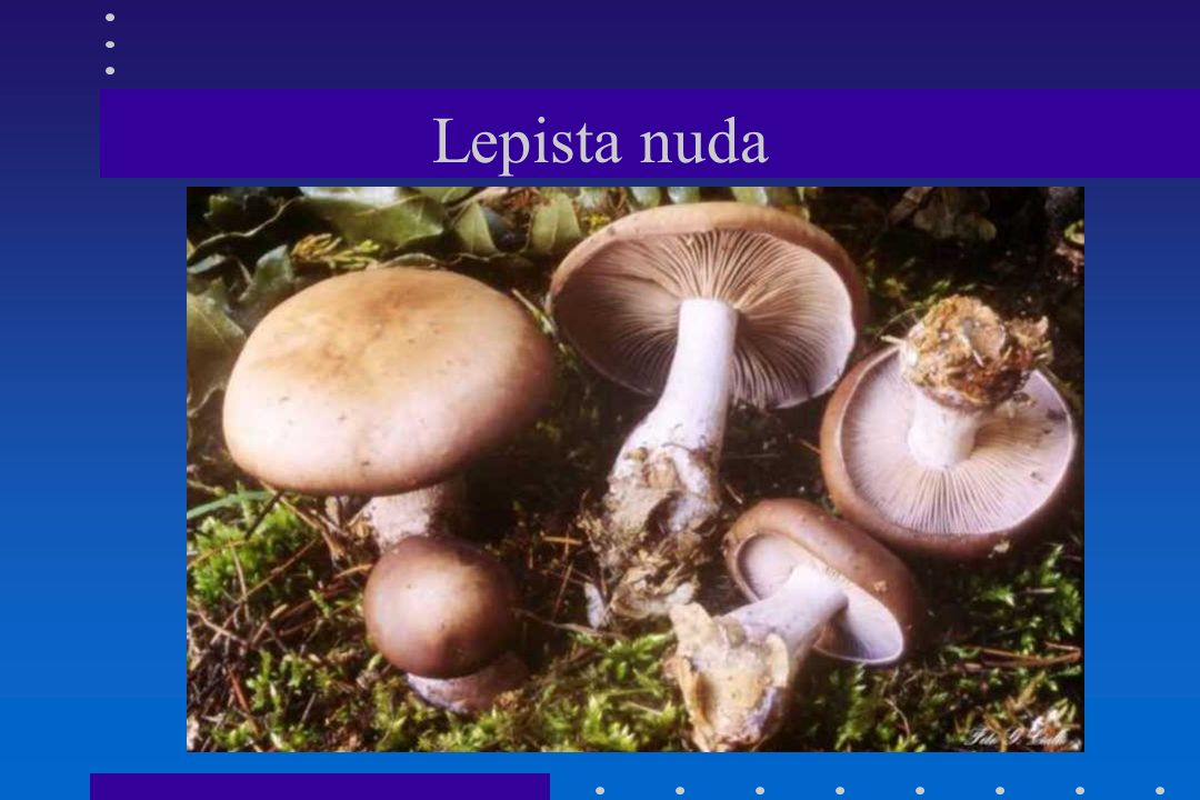 Lepista nebularis = Clitocybe n.