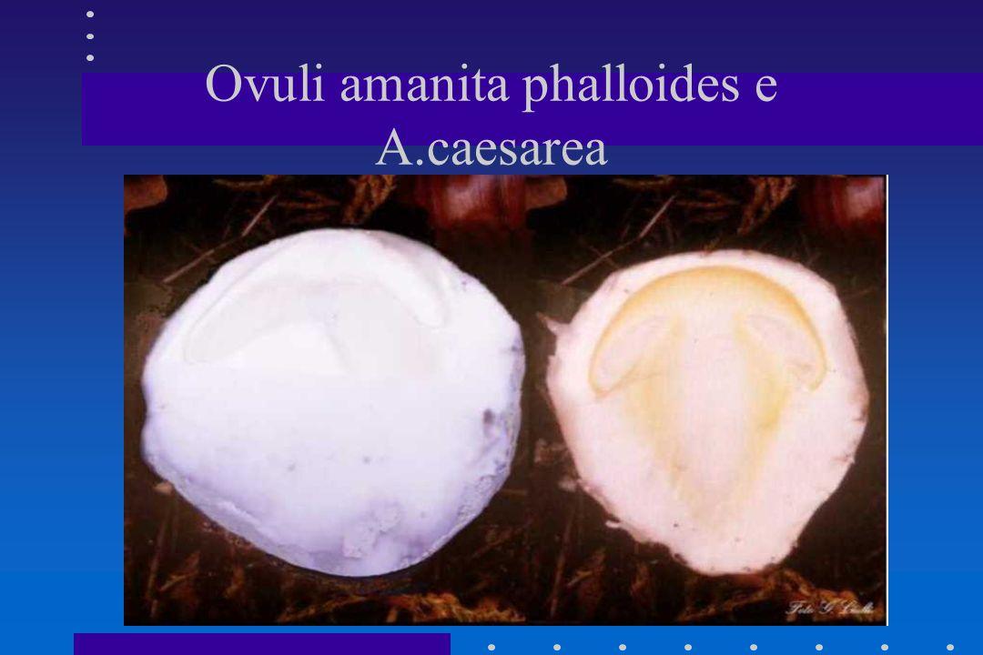 Amanita phalloides 3