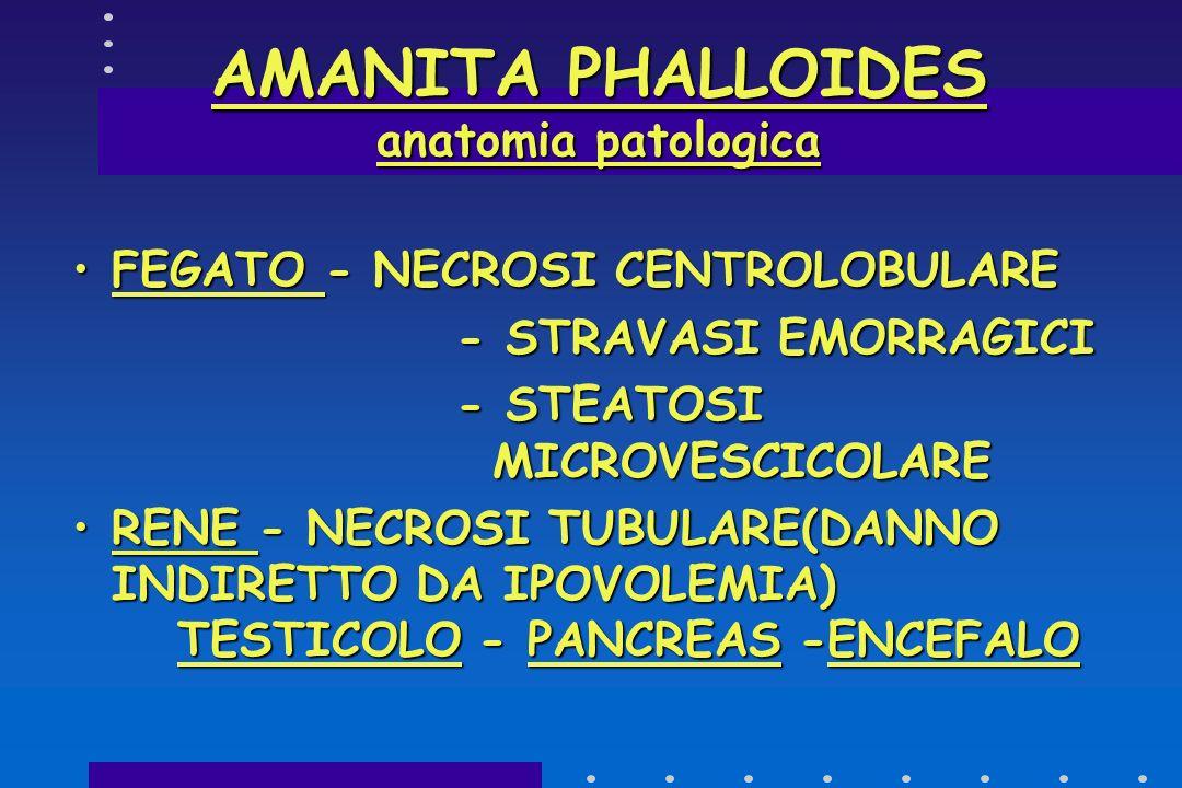 ALFA E BETA AMANITINA + FALLOIDINEALFA E BETA AMANITINA + FALLOIDINE FEGATO:NECROSI CELLULARE A LOCALIZZAZIONE CENTROLOBULAREFEGATO:NECROSI CELLULARE