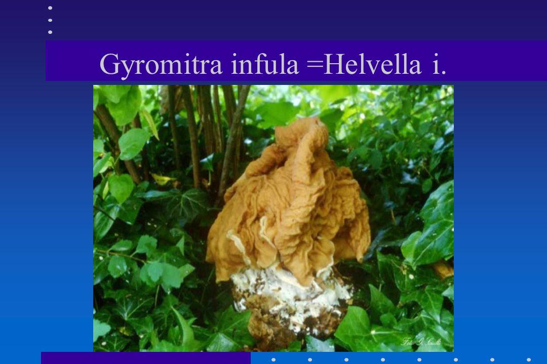 Gyromitra gigas