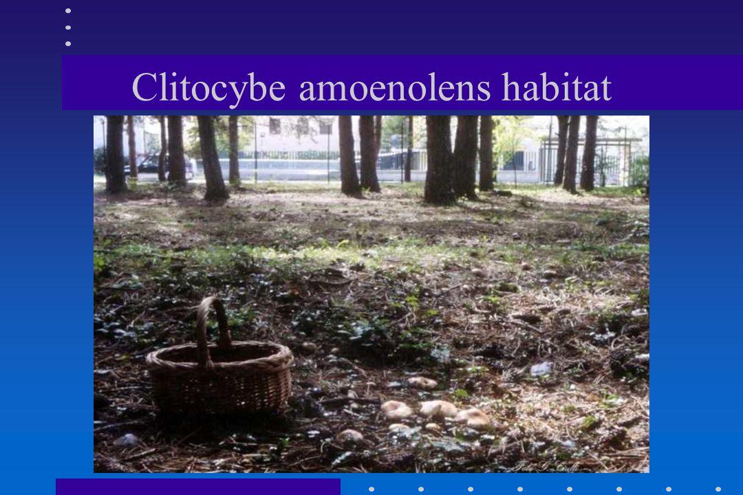 CLITOCYBE AMOENOLENS CLITOCYBE AMOENOLENS Malençon I DESCR.:1967 CEDRUS LIBANOTICA ssp.ATLANTICA MONTAGNE ATLANTE (MAROCCO) AUTUNNALE.POCO COMUNE. COM
