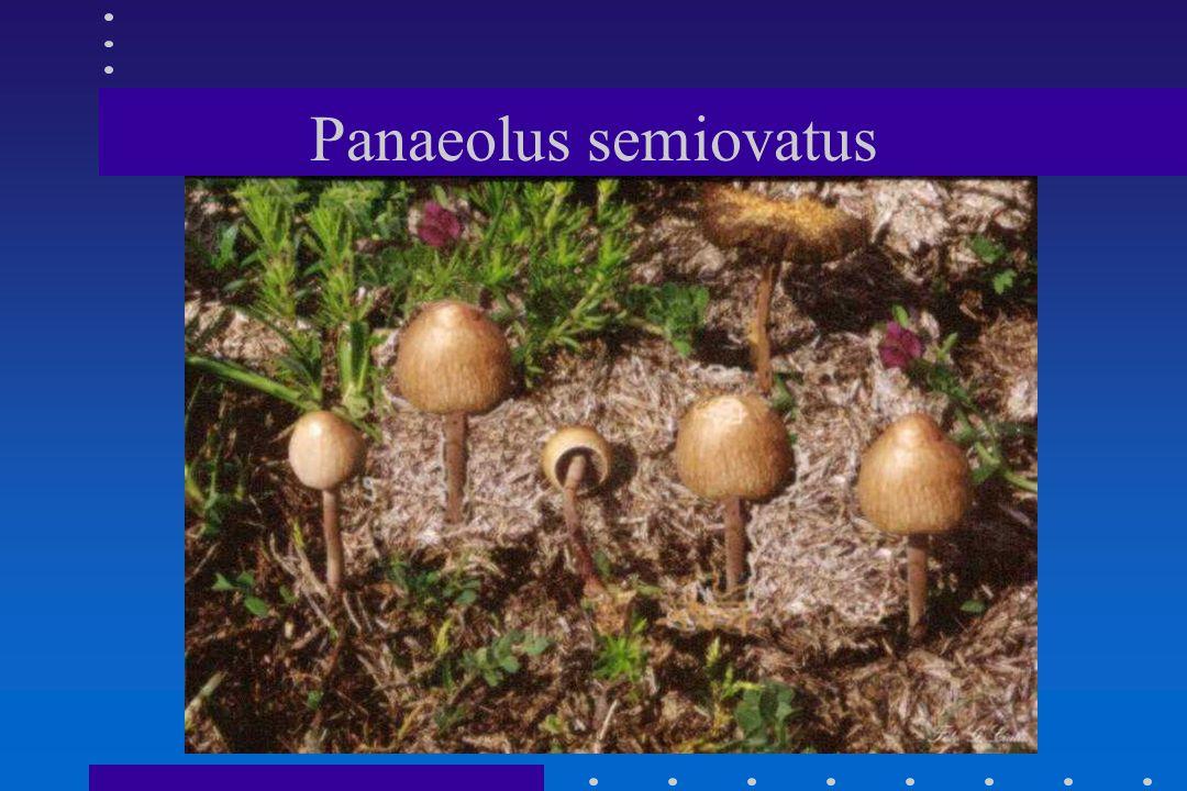 Panaeolus separatus
