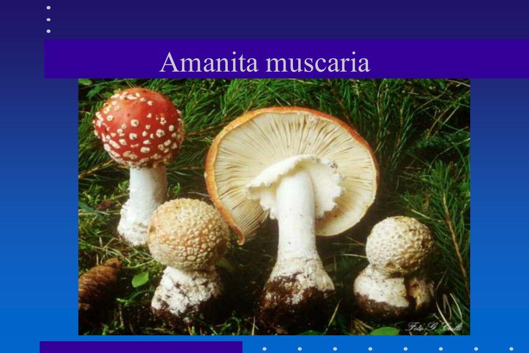 SINDROME MUSCARINICA AMANITA MUSCARIA(PICCOLE QUANTITA).AMANITA MUSCARIA(PICCOLE QUANTITA). CLITOCYBE BIANCHE(DEALBATA- CERUSSATA-PHILLOPHILA PITHYOPH