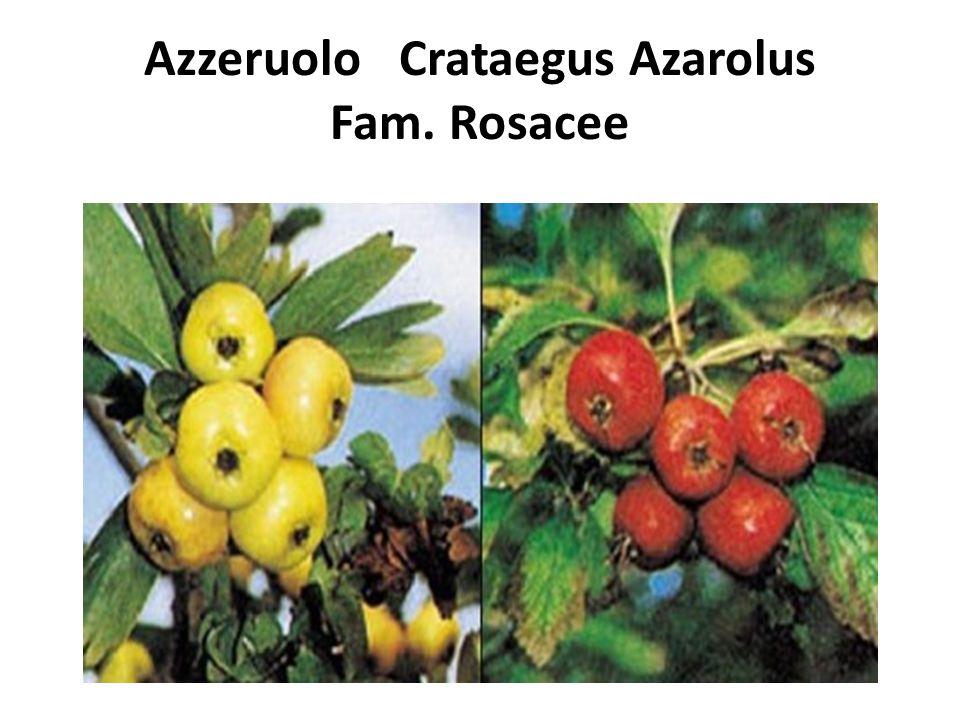Azzeruolo Crataegus Azarolus Fam. Rosacee