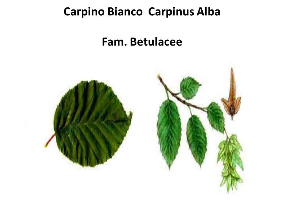 Carpino Bianco Carpinus Alba Fam. Betulacee