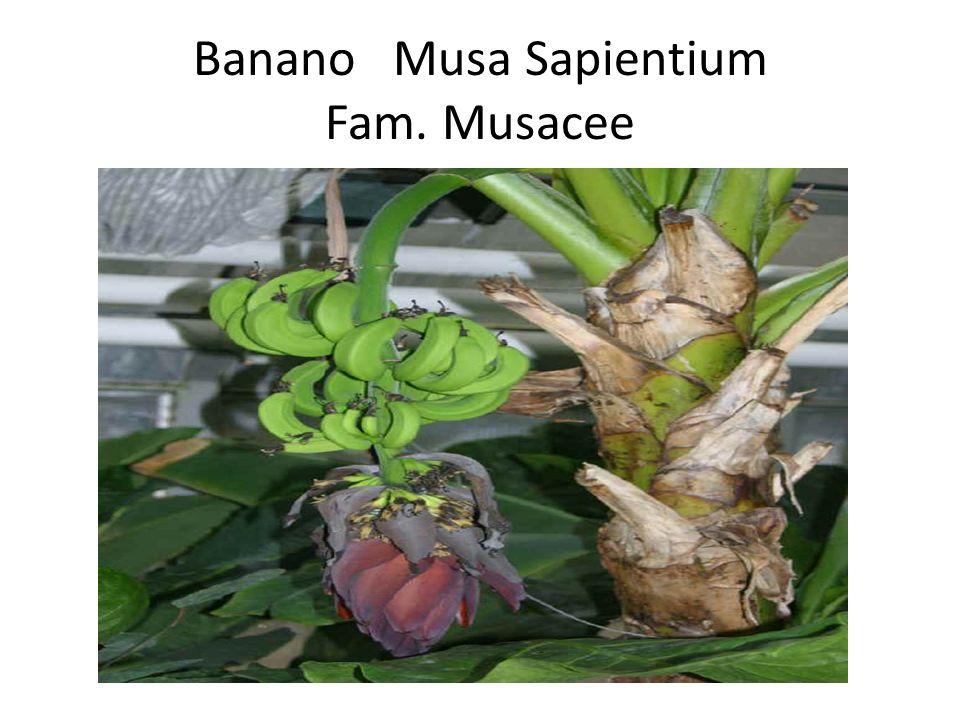 Banano Musa Sapientium Fam. Musacee