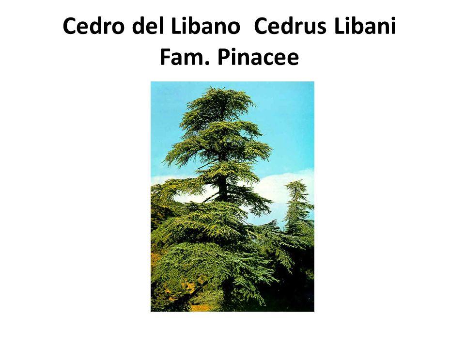 Cedro del Libano Cedrus Libani Fam. Pinacee