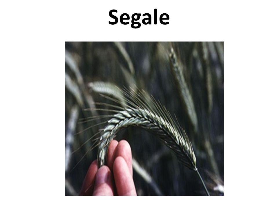 Segale
