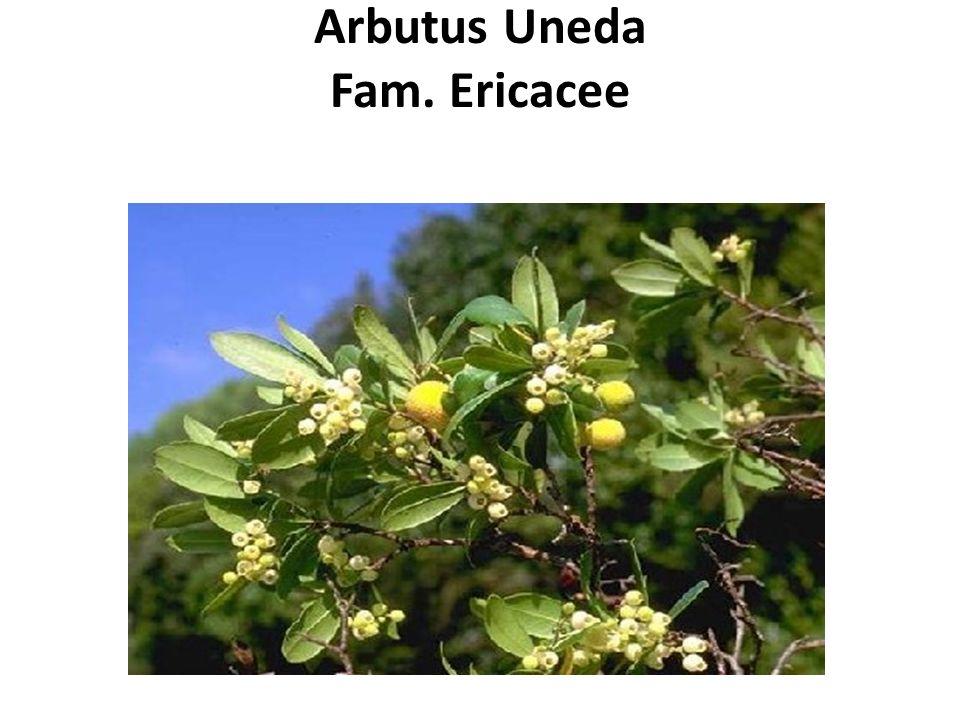 Arbutus Uneda Fam. Ericacee