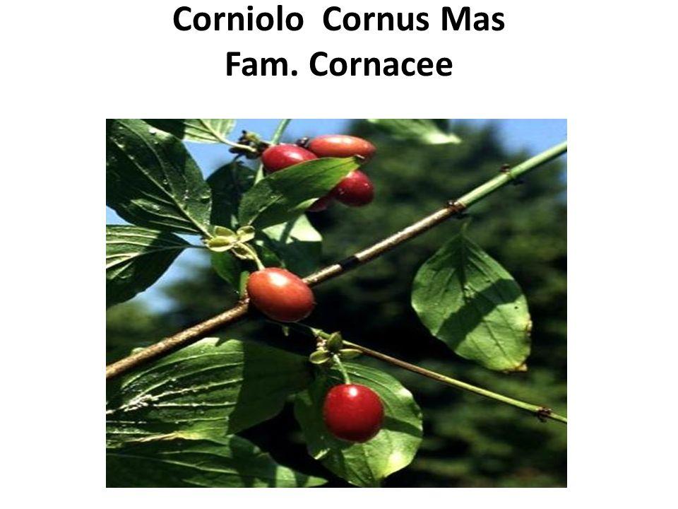 Corniolo Cornus Mas Fam. Cornacee