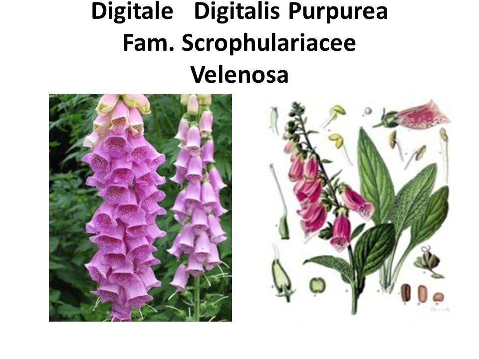 Digitale Digitalis Purpurea Fam. Scrophulariacee Velenosa