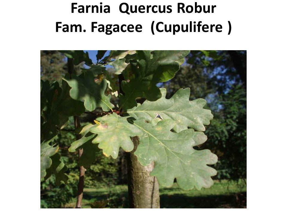Farnia Quercus Robur Fam. Fagacee (Cupulifere )
