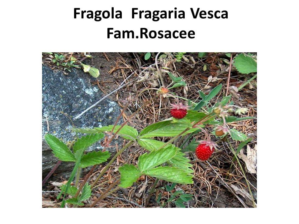 Fragola Fragaria Vesca Fam.Rosacee