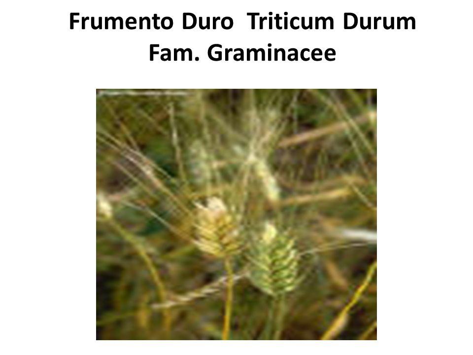 Frumento Duro Triticum Durum Fam. Graminacee