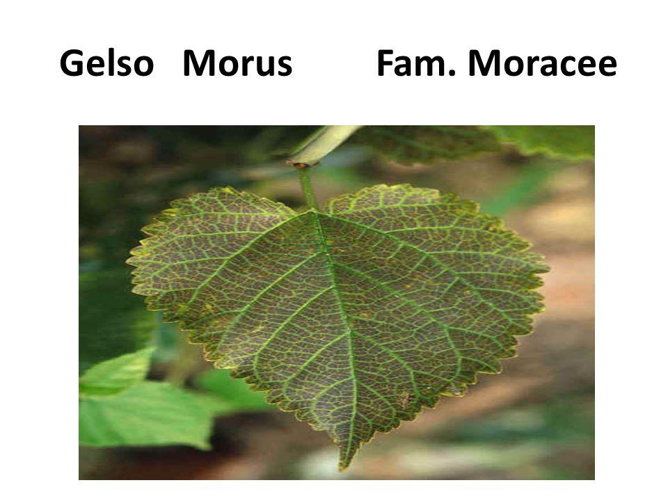 Gelso Morus Fam. Moracee