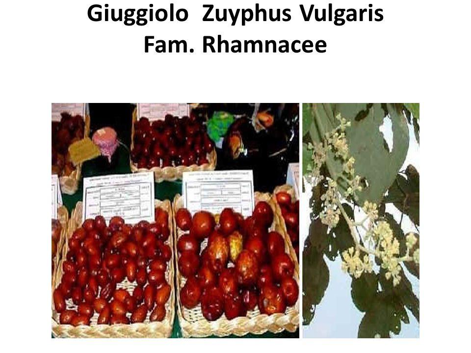 Giuggiolo Zuyphus Vulgaris Fam. Rhamnacee