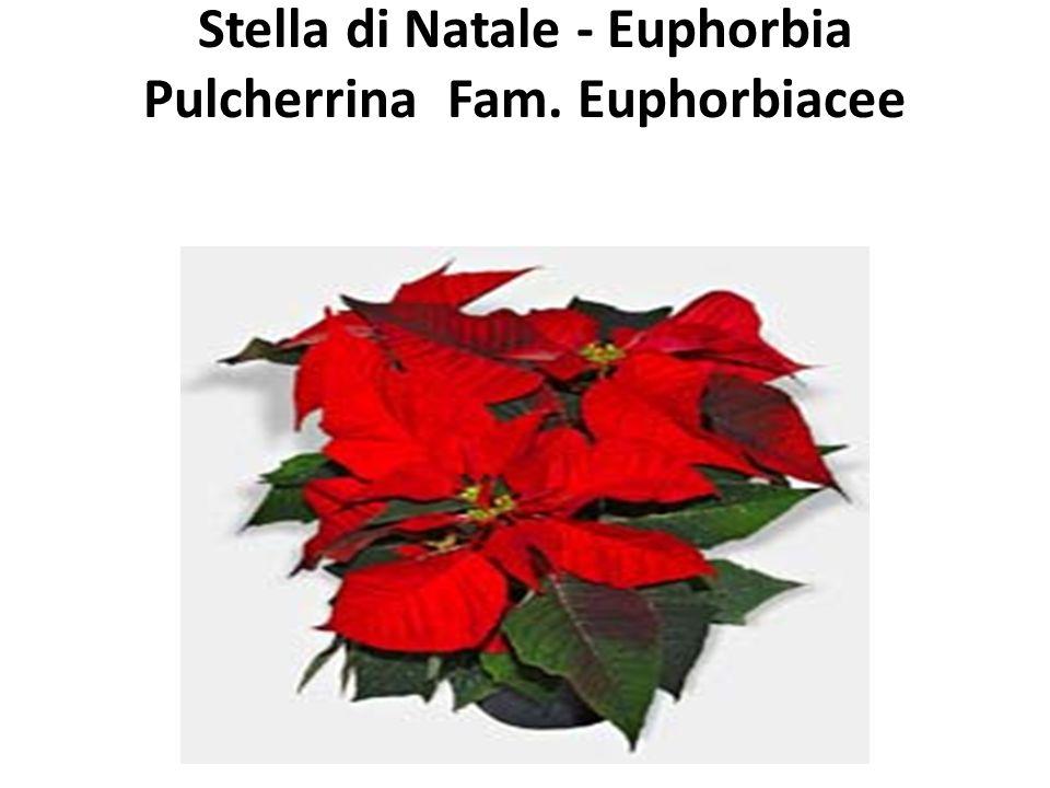 Stella di Natale - Euphorbia Pulcherrina Fam. Euphorbiacee