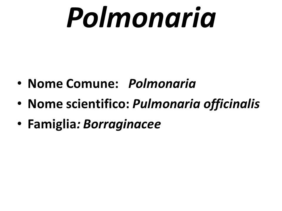 Polmonaria Nome Comune: Polmonaria Nome scientifico: Pulmonaria officinalis Famiglia: Borraginacee