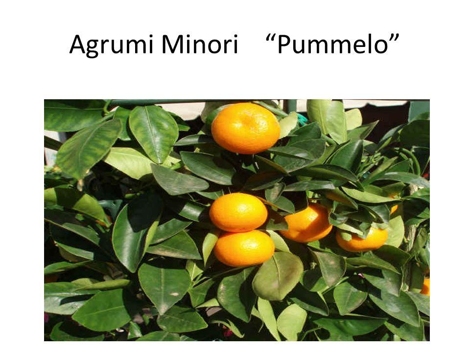 Agrumi Minori Pummelo