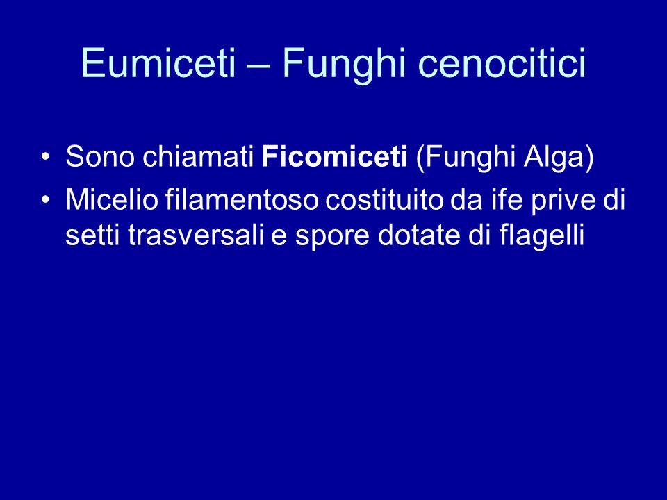 Eumiceti – Funghi cenocitici Sono chiamati Ficomiceti (Funghi Alga) Micelio filamentoso costituito da ife prive di setti trasversali e spore dotate di