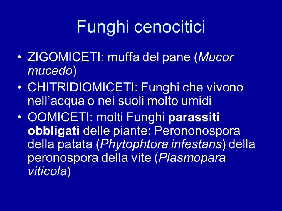 Funghi cenocitici ZIGOMICETI: muffa del pane (Mucor mucedo) CHITRIDIOMICETI: Funghi che vivono nellacqua o nei suoli molto umidi OOMICETI: molti Fungh