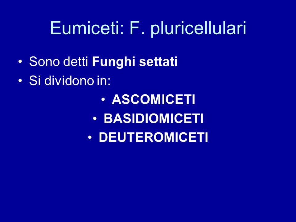 Eumiceti: F. pluricellulari Sono detti Funghi settati Si dividono in: ASCOMICETI BASIDIOMICETI DEUTEROMICETI