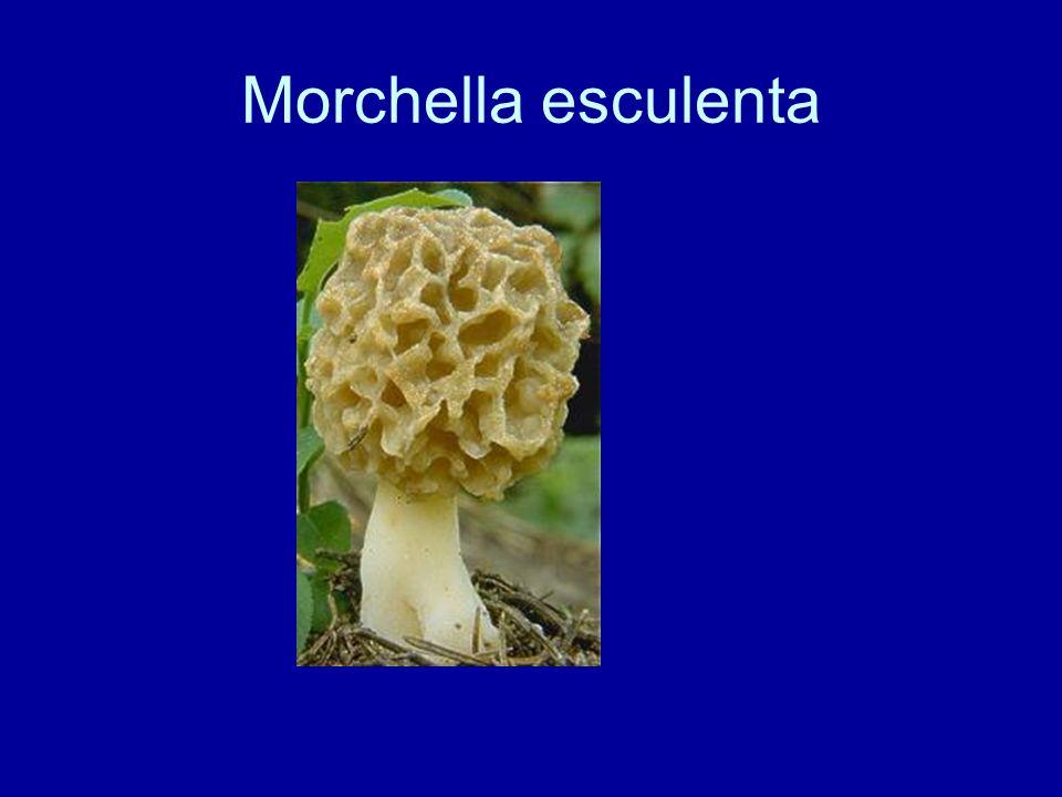 Morchella esculenta