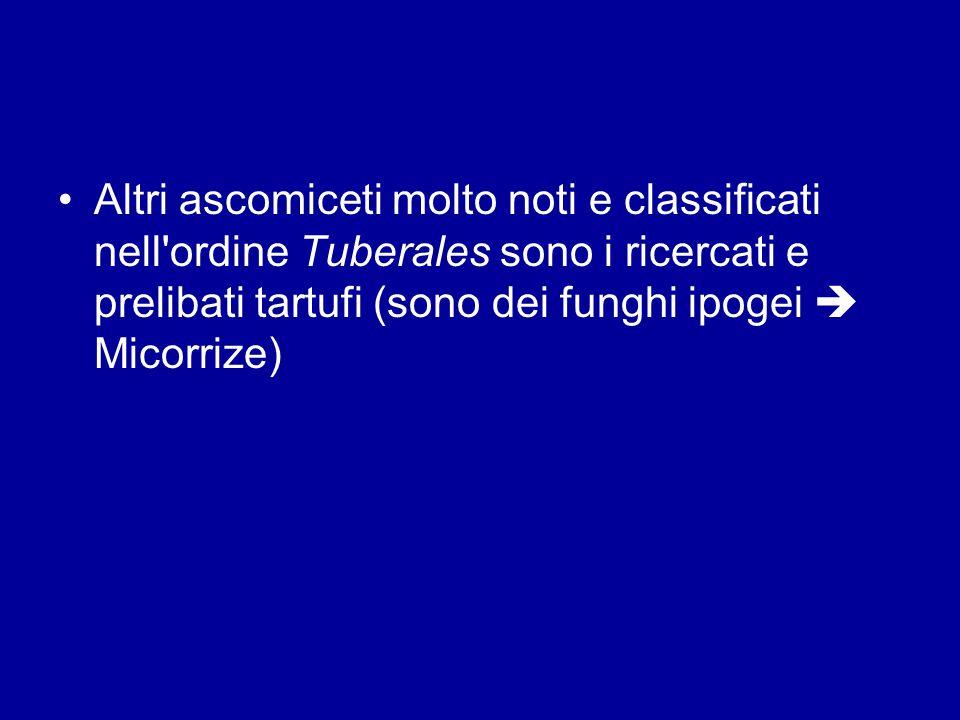 Altri ascomiceti molto noti e classificati nell'ordine Tuberales sono i ricercati e prelibati tartufi (sono dei funghi ipogei Micorrize)