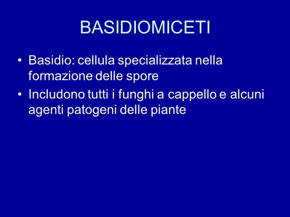 BASIDIOMICETI Basidio: cellula specializzata nella formazione delle spore Includono tutti i funghi a cappello e alcuni agenti patogeni delle piante