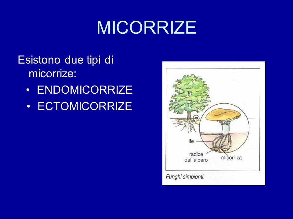 Endomicorrize Trenta specie diverse di funghi penetrano con le ife nelle cellule della corteccia e danno così origine a rigonfiamenti e sottilissime ramificazioni nell80% delle piante vascolari