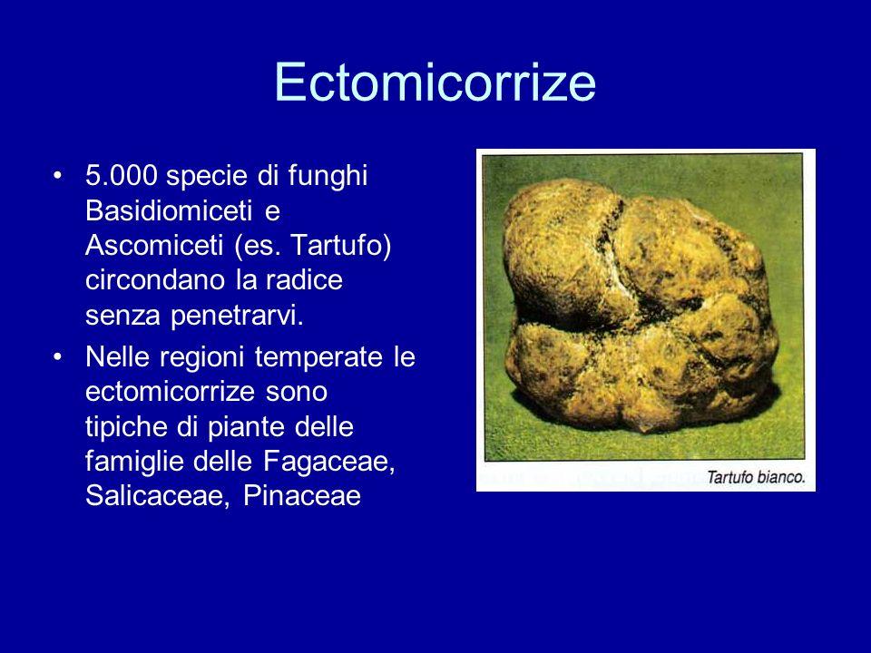 Ectomicorrize 5.000 specie di funghi Basidiomiceti e Ascomiceti (es. Tartufo) circondano la radice senza penetrarvi. Nelle regioni temperate le ectomi