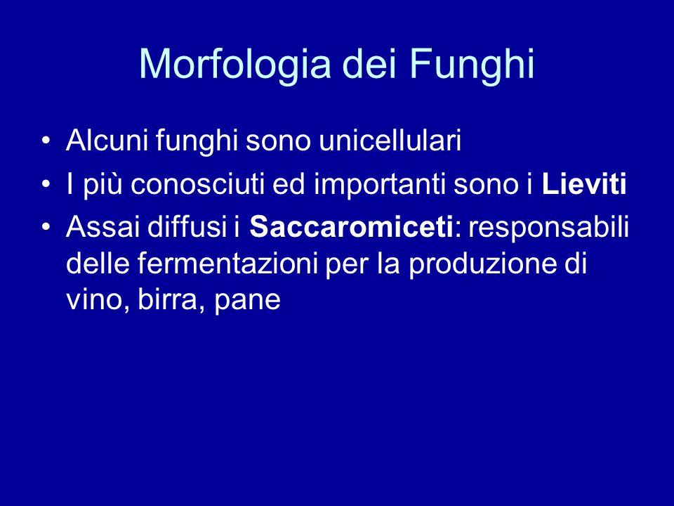Morfologia dei Funghi Alcuni funghi sono unicellulari I più conosciuti ed importanti sono i Lieviti Assai diffusi i Saccaromiceti: responsabili delle