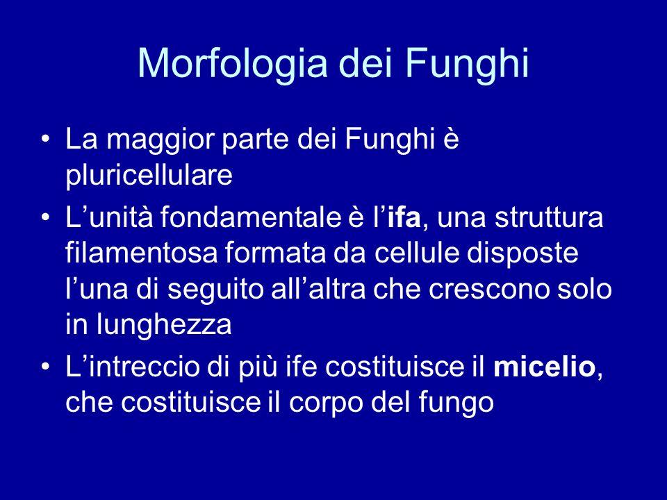 Morfologia dei Funghi La maggior parte dei Funghi è pluricellulare Lunità fondamentale è lifa, una struttura filamentosa formata da cellule disposte l
